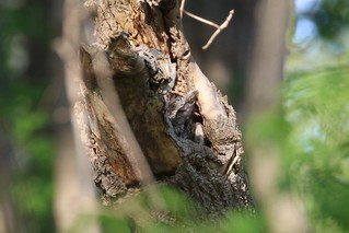 Eastern Screech Owl (東美角鴞)