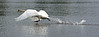 Prepare for take off... (nige.cox61) Tags: rush swan running flickrfriday lake miltonkeynes water