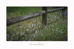 Georgia Blues (TuthFaree) Tags: fence hff fencefriday georgia railfence wood weeds blue swga ga 7dwf