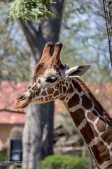 Reticulated Giraffe (spierson82) Tags: brookfield brookfieldzoo giraffacamelopardalisreticulata czs chicagozoologicalsociety illinois zoo reticulatedgiraffe giraffe animal unitedstates us