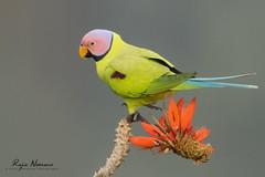 Blossom-headed Parakeet (nomane172) Tags: blossomheadedparakeet parakeet bird animal wildlife nature outdoor wildlifephotography naturephotography birdsofbangladesh satcharinationalpark habiganj bangladesh nikon nikond500 d500 nikon200500mm 200500mm ngc colorfulbird
