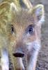 wild boar Berg en dal BB2A0114 (j.a.kok) Tags: zwijn everzwijn boar wildboar bergendal apenheul animal europe europa mammal zoogdier dier