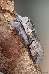 Furcula bifida (Brahm 1787) (Jesús Tizón Taracido) Tags: insecta lepidoptera noctuoidea notodontidae notodontinae dicranurini furculabifida