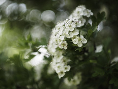 Hawthorn blossom (Boxertrixter) Tags: bokeh flowers blossom summer tree foliage hawthorn garden olympus olympuspenf mirrorless microfourthirds adaptedlens m42 helios44m