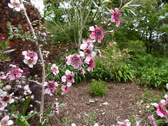 Leptospermum scoparium J.R.Forst. & G.Forst. 1775 (MYRTACEAE) cv. 'Mesmer Eyes'. (helicongus) Tags: leptospermumscopariummesmereyes leptospermum myrtaceae jardínbotánicodeiturraran spain