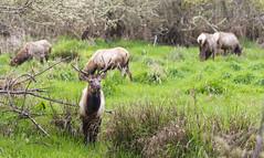 If we could but paint with the hand what we see with the eye… (ferpectshotz) Tags: elk rooseveltelk northerncalifornia redwoods elkmeadow prairiecreekredwoodsstatepark highway101