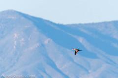 Nootropic Cormorant (gvall66) Tags: arizona az cormorant d500 iba neotropiccormorant nikon nikon200500 sedona sedonawetlandspreserve yavapaicounty