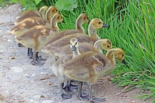 Canada Geese Goslings 18-0512-6209
