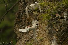 Garza Ganadera / Cattle Egret (Bubulcus ibis) (Gogolac) Tags: 2018 aves bird birdphotography birdie birds bubulcusibis canon7dmii cattleegret fauna garzaganadera location primavera season year birdspot birdingrd birdsspotters republicadominicana