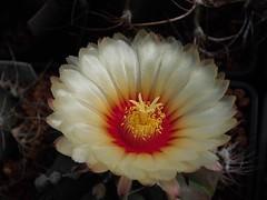 Astrophytum flowers (Skolnik Collection) Tags: astrophytum flowers skolnik collection nursery mexico cactus