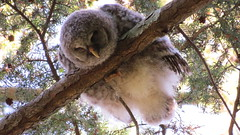 Barred Owl (shesnuckinfuts) Tags: barredowl strixvaria owlett kentwa shesnuckinfuts may2018 nature wildlife owl baby sleeping fluffygoodness