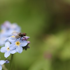 A tiny fly in a big world... (Kez West) Tags: hfdf diptera fly spring