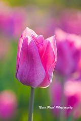 IMG_6634 (nitinpatel2) Tags: flower nature nitinpatel