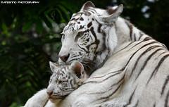 Bengal White Tigers - Zoo Amneville (Mandenno photography) Tags: animal animals bengal tiger tijger tigers tijgers tigercub orissa amneville zooamneville france frankrijk