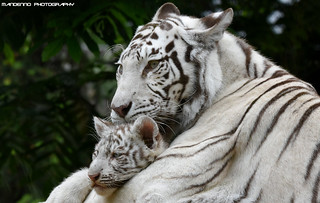Bengal White Tigers - Zoo Amneville