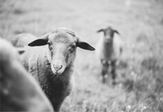 sheep. (tehroester) Tags: film is dead analog scan canon ae1 program nfd fd 50mm 18 sheep nature animals animal black white bw grass field farm cute livestock ngc