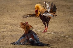 Cock fighting a7iii-1- (4) (walterkolkma) Tags: a7m3sonya7iiiphilippinesmanilala loma cockpitcockfightingcock fighting gambling