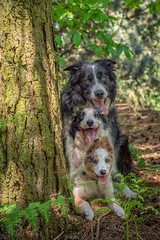 Collie Stack (Chris Willis 10) Tags: collies omar puppy star trickywood dog pets animal outdoors canine purebreddog nature mammal cute friendship domesticanimals forest fun greencolor playful brown grass tree parkwill bailey stack