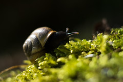 Snail Expedition (Theo Crazzolara) Tags: snail gastropods schnecke shell animal natural nature adventure expedition moss forest wood macro beautiful slow closeup
