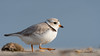 Piping Plover | 2018 - 4 (RGL_Photography) Tags: birding birds birdwatching charadriusmelodus endangeredspecies gardenstate gatewaynationalrecreationarea jerseyshore monmouthcounty mothernature newjersey nikonafs600mmf4gedvr nikond500 ornithology pipingplover plover sandyhook shorebirds us unitedstates wildlife wildlifephotography