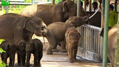 Elephant orphans queue to drink milk (THE WILD ELEPHANT) Tags: huge elephant rescue video youtube quite baby funny kids videos the wild wildlife news tv