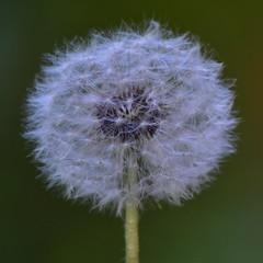 Dandelion seed head (pedrik) Tags: plants seeds connecticut usa taraxacum d7200 afsdxvrnikkor55300mm4556g nearlysooc square