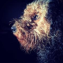 Makai The Airdaleterrier (Svenka Petrović) Tags: dog dogs terrier airdaleterrier portret dogsarefamilly