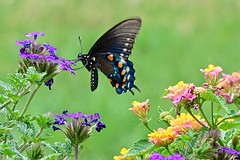 Pipevine Swallowtail Butterfly on Verbena (deanrr) Tags: butterfly spring nature outdoor insect pipevine swallowtail pipevineswallowtail verbena lantana colors pastels greenbackground grass alabama morgancountyalabama backyard patio containerflowers flower