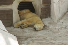 *** (i13rbk) Tags: fareast zoo khabarovsk zoogarden animals spring amur park forest shore whitebear