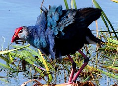 Purple Swamphen - in breeding plumage - at Marshland (forest venkat) Tags: bird animal tree lake water see sea bear beer river ride zero zone zoom zoo zee zombie work