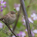 House Wren 481_9871 (Melissa Kung) Tags: