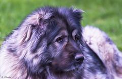 Drusa, Pastora del Cáucaso. Drusa, Pastora of the Caucasus (A. Muiña) Tags: perro dog animal process post naturaleza nature desenfoque bokeh macrofotografía nikon nikond800 macro nikon80200f28 mascota color