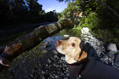 Rivendell (Wozza_NZ) Tags: rivendell upperhutt huttvalley kaitoke regionalpark wellington nz newzealand lotr lordoftherings dog stick labrador dudley spanador swim river walk fun games samyang 8mm fisheye canon 7d