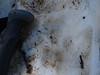 P1060520.jpg (Hans Van Loy) Tags: carnivora dieren gewervelden honden loopsporen nationaleparken parcnationalmercantour roofdieren sporen wolf zoogdieren