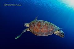 Flying in the Ocean (kayak_no1) Tags: nikon d800e nauticamhousing 15mmsigmafisheye fisheye ysd1 underwater underwaterphotography wa wideangle diving scubadiving uw moalboal philippines turtle
