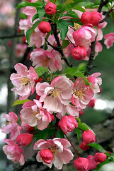 """Cincinnati – Spring Grove Cemetery & Arboretum """"Crab Apple Tree - Blooms"""" (David Paul Ohmer) Tags: ohio cincinnati spring grove cemetery arboretum springgrovecemetery gravesites burial grounds death spirit soul deceased graveyard conservatory victorian gothic revival national historic landmark adolph strauch cemetary red pink crab apple tree blooms flowers crabapple"""