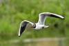 black headed gull (Paul Wrights Reserved) Tags: blackheadedgull gull seagull sea bird birding birdphotography birdwatching birdinflight bokeh
