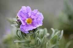 ... Jara Sencilla ... (Device66.) Tags: flordepapel flores silvestres jara device cistus valldetarbena savalldetarbena menosesmas florsdelterreno