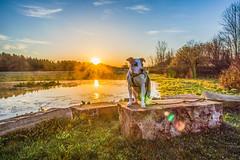 juneau in observatory park (kevincarlvail) Tags: geaugaparkdistrict geauga geaugaparksdistrict geaugacounty ohio sun sunrise dog canine pitbulls pitbull