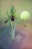 Ophrys Incubacea Bianca (ruben diez cuesta) Tags: plants flower nature nikon nikonista macro micro bokeh orquidea orchid ophrys