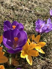 Blütenanflug (igelchen) Tags: krokus lila blume flower blüte blossom gelb yellow frühling spring purple 3bewertung insekt biene bee