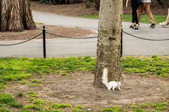 20180505 white squirrel (chromewaves) Tags: fujifilm xt20 xf 1855mm f284 r lm ois boston massachusetts public garden