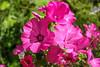 Lavatera / Лаватера (kvl23) Tags: flower bloom flowers nature beauty closeup macro bright russia plants лаватера мальва lavatera mallow
