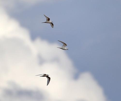 Charrán blanco / White tern / Gygis alba