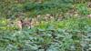 Peekaboo (The Wasp Factory) Tags: eurasianlynx lynx eurasischerluchs nordluchs luchs lynxlynx tierfreigeländelusen tierfreigelände lusen nationalparkbayrischerwald nationalpark bayrischerwald bayrischer wald bavarianforestnationalpark bavarianforest wildlifepark wildpark tierpark