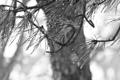 Fog on Dry Pine (brucetopher) Tags: beach coast coastal seacoast pine branch tree wet drop droplet rain raindrop fog foggy weather cold dripping drip water damp moisture evergreen needle needles pineneedles black white blackandwhite bw blackwhite monochrome mono
