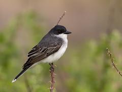 Kingbird...6O3A1047CR2A (dklaughman) Tags: kingbird bird bombayhooknwr delaware