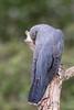 Giving the shy look (PINNACLE PHOTO) Tags: cuckoo bird grey may 2018 surrey
