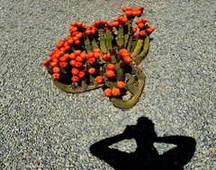 A Salty Dog (oybay©) Tags: suncitywest arizona unique unusual nightbloom night cactusflower cactus flower flora fiori blumen argentinegiant macro upclose color colors white whiteflower light greatshot coolshot cool indoor black background