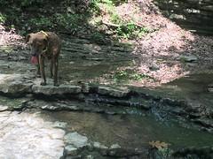 TUCKER  CHECKS  OUT  THE  CREEK (railbar2014) Tags: shade trails creeks hills hiking valmeyer illinois doglife luckydog